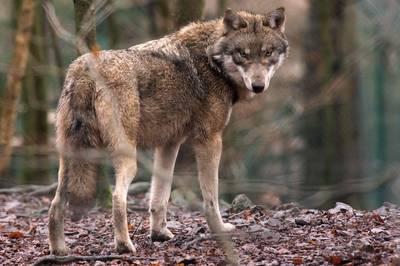 na-meer-dan-100-jaar-is-de-wolf-nu-ook-terug-in-vlaanderen