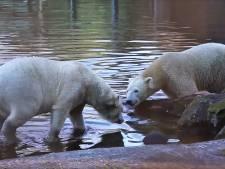 IJsbeermannetje Rhenen leert ijsbeervrouwen kennen