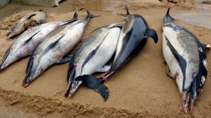 1.100 dieren op amper drie maanden tijd: recordaantal dode dolfijnen aangespoeld aan de Franse kust