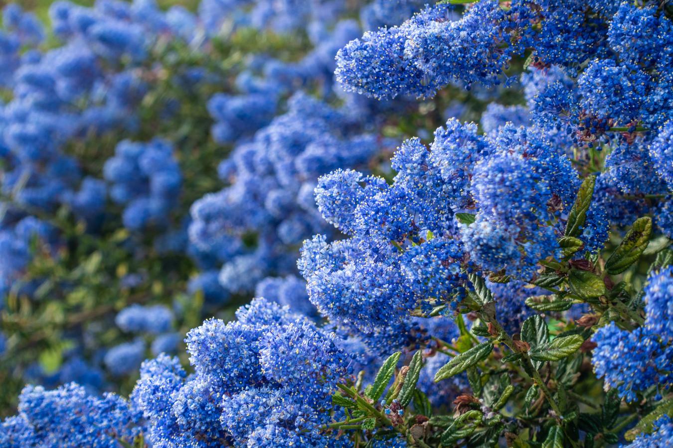 Om de Ceanothus, of de Californische sering, zoemen hommels en bijen.