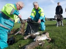 Oevers vol dode konijnen door myxomatose-uitbraak