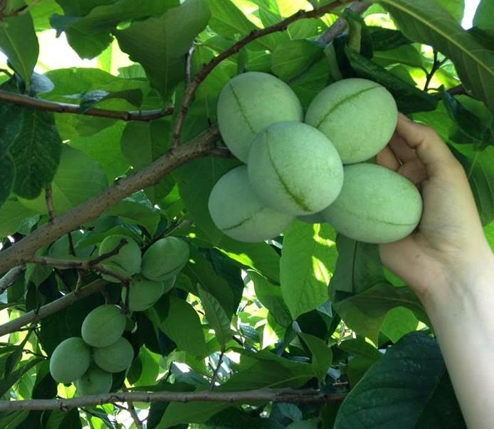 De vrucht