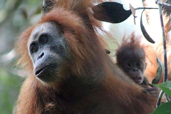 Une femelle orang-outan et son petit sur l'île de Sumatra, en Indonésie.