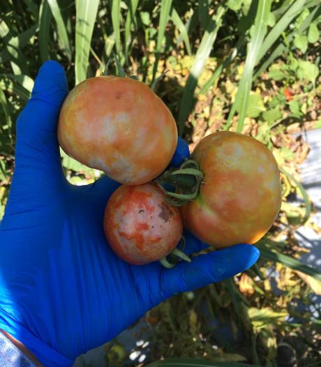 Destructieve tomatenziekte verspreidt zich over ons land