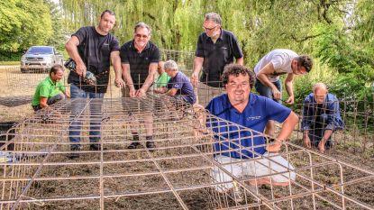 Kooien in vestingswater beschermen vissen tegen aalscholvers