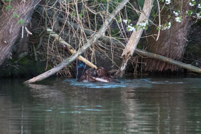 Twee jonge bevers voor een burcht in het Ossermeer, bij Oss.