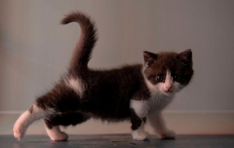 De eerste gekloonde kat in China gaat aan de wandel. Het beestje heet Knoflook en is gekloond door het bedrijf Sinogene uit Peking, dat sinds 2017 al veertig honden kloonde. Een gekloonde hond kost zo'n 48.000 euro, voor een kitten rekent Sinogene bijna 32.000 euro Beeld AFP