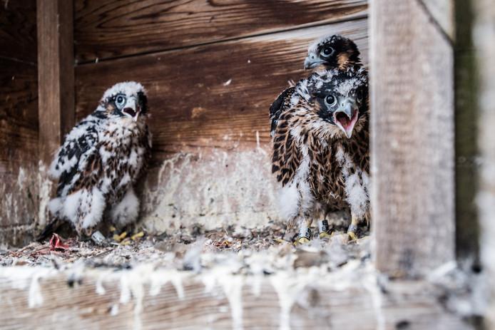 De drie jonge slechtvalken in de top van de Eusebiustoren in Arnhem groeien als kool. Hun donskleed maakt al plaats voor de echte veren voor het grote vliegwerk straks.