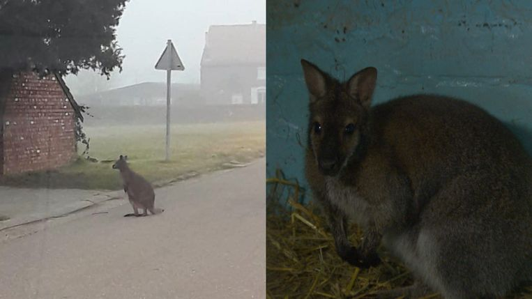 Wallaby's in ons land.