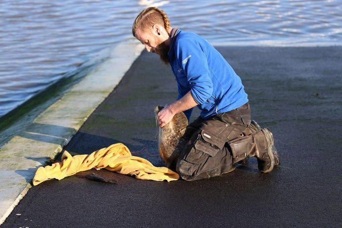 Jasper Matthys van Sea Life kon een vishaak uit de muil van het dier halen, maar toen bleek dat het dier ook nog visdraad en twee andere haken had ingeslikt.