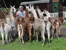 Maarheezenaar biedt lama's te lease aan