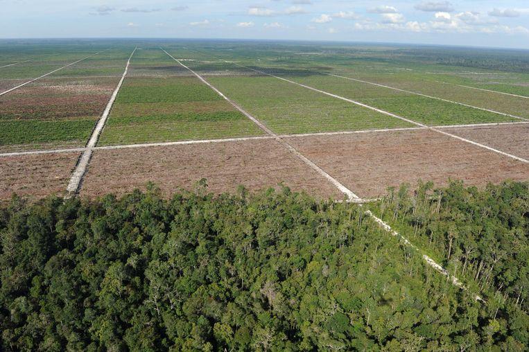 In Indonesië en Maleisië moeten inheemse bomen plaatsmaken voor de oliepalmen.