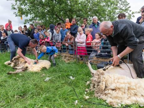 Sem (5) helpt de schapenscheerder een handje bij wolfestijn in Rouveen