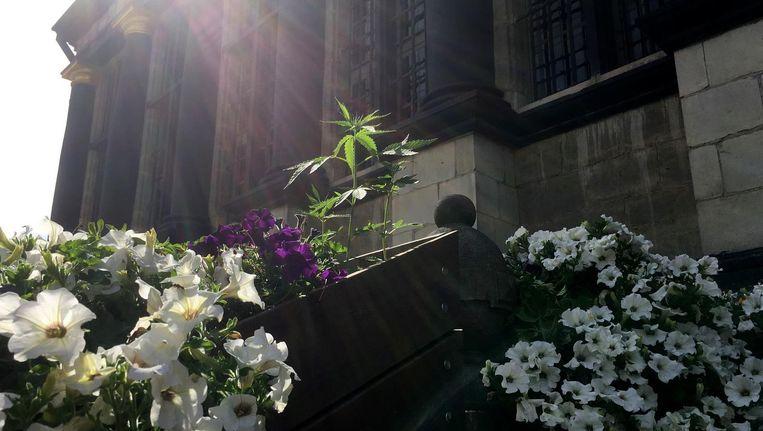 Tussen de bloemetjes, aan de trappen van het stadhuis: een wietplantje.