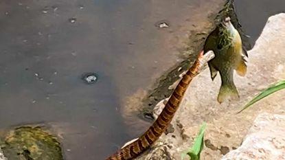 Gluiperige slang probeert vis te stelen van zesjarig jongetje