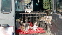 Politie valt binnen bij fokker in Lochristi: 23 dieren in beslag genomen
