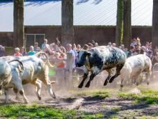 Koeiendans: met vier poten van de grond vrij uit de winterstal
