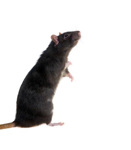 Rattenvanger van Meierijstad heeft weinig haast