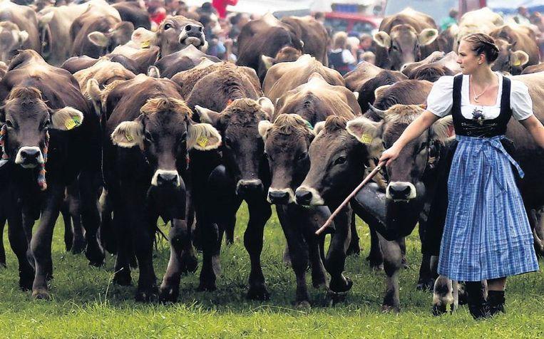 Beierse boeren halen hun vee van de hooggelegen alpenweides tijdens de traditionele 'Almabtrieb' in Bad Hindelang, ten zuiden van München. Beeld reuters