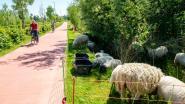 Kwaede Wielstraat verwelkomt opnieuw kudde van 200 schapen
