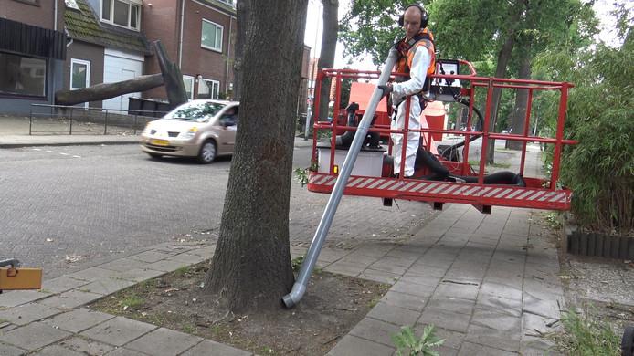 Bestrijding van de eikenprocessierups aan de Soesterweg.