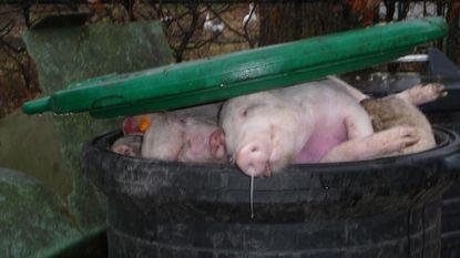 Varkensbedrijf dumpt kadavers langs weg