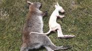 """Zes kangoeroes doodgebeten in Bree: """"Zeker niet het werk van de wolf"""""""