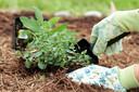 Mulch voorkomt dat je grond te snel opwarmt en het aanwezige water meteen verdampt.