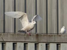 Bijzondere meeuw zorgt voor blije vogelaars in Apeldoorn