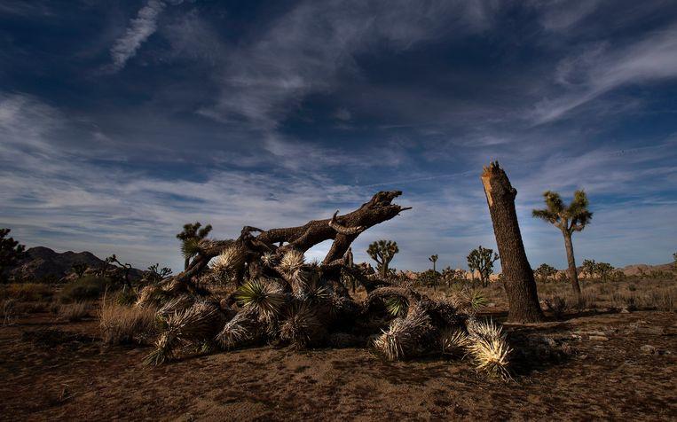 799dc9289cc07d In het Joshua Tree National Park werden verschillende bomen vernield en  zelfs omgehakt. Beeld Photo News