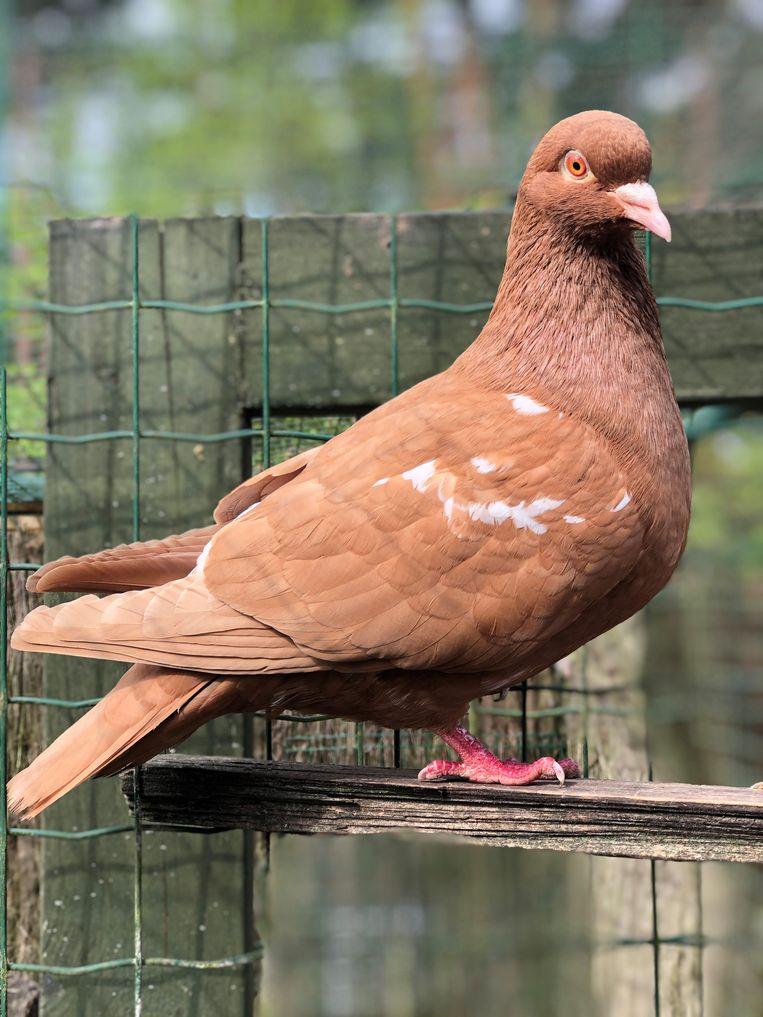 Dit een carneauduif van Christof Victor. Het oud Vlaams-Noord-Franse duivenras zou in het dierenpark voor levend erfgoed komen.