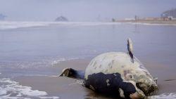 Storm Odette blaast dode bruinvissen tot op het strand