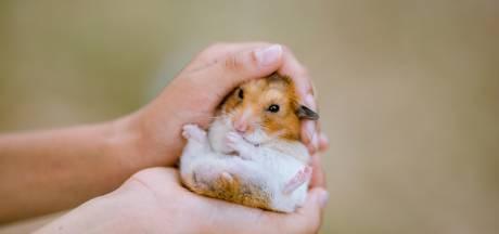 Le hamster européen risque de disparaître