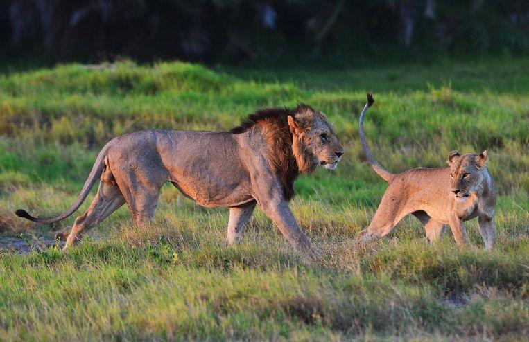 Wilde leeuwen in het Amboseli national park in Kenia. Beeld afp