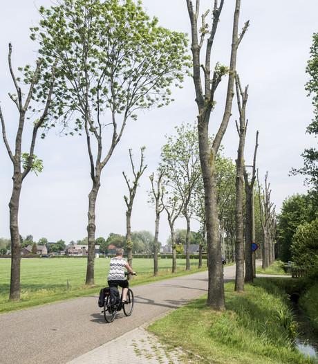 Allee met bomen zonder takken in Den Ham