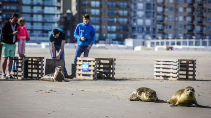 Vijf zeehondjes krijgen weer de vrijheid
