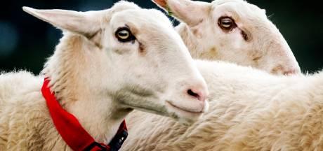 Raalter schapen begrazen zonnepark in Heeten