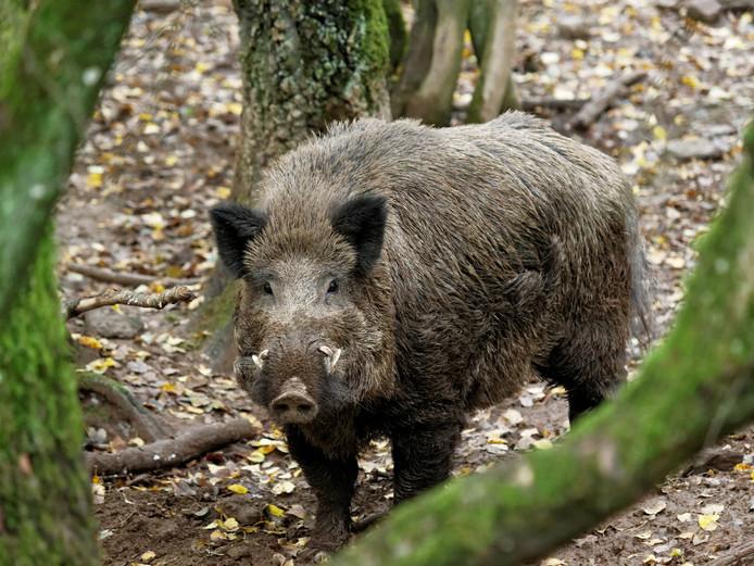 Een wild zwijn heeft in Duitsland voor meerdere verkeersongelukken gezorgd.