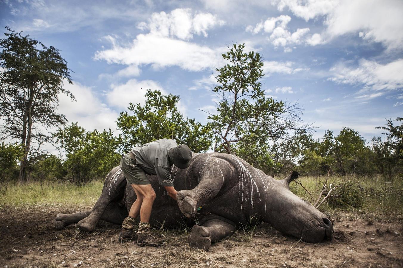 Een neushoorn die gedood is door stropers om zijn hoorn in het Kruger National Park, Zuid-Afrika.