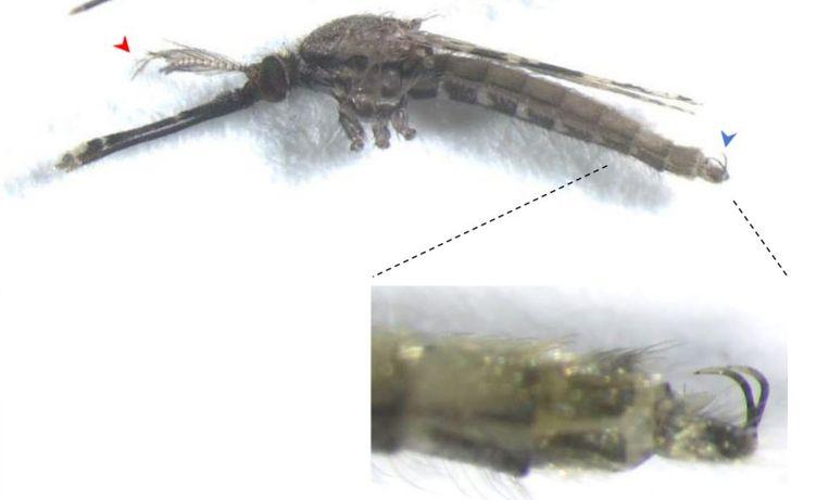 Een 'vermannelijkte' vrouwtjesmug: met gevederde antennes en een haak achterop, normaal gebruikt om vrouwtjes bij de paring vast te houden. Beeld Nature