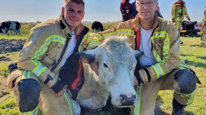 Brandweer redt koeien uit de gracht in... de Koeistraat