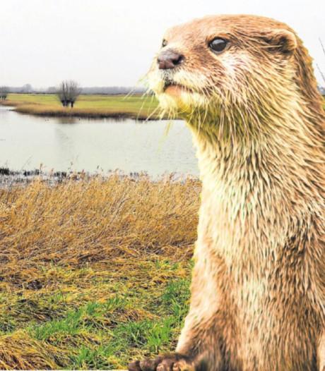 Een derde otter in de Fraterwaard? 'Hier word ik heel blij van'