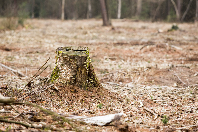 Complete bospercelen bij Ruurlo zijn gekapt. Staatsbosbeheer ziet in dat het anders moet. Hoogleraar Frits Mohren: ,,Als je kleinschalig kapt, kun je het bos-klimaat behouden waarin andere soorten kunnen groeien.''