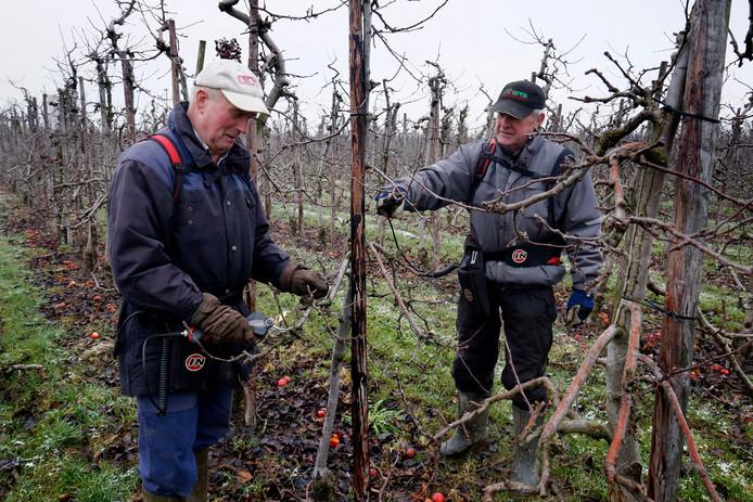 Fruitteler Hans van Krieken is met zijn collega (r) al weken bezig met het snoeien van de fruitboomgaard.