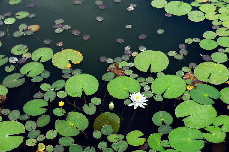 Zuurstofplanten zijn het belangrijkst voor een gezonde vijver. Met drijvende planten zorg je voor schaduw.