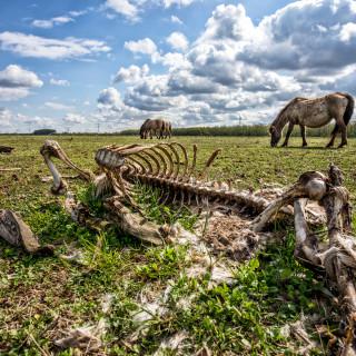 aantal-grote-grazers-oostvaardersplassen-nog-dit-jaar-gehalveerd-einde-laatste-stuk-%E2%80%98wilde-natuur%E2%80%99