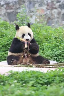 Veiling Ouwehands: Wie wil mee de panda's ophalen?