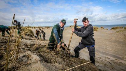 Honderd jongeren planten helmgras om duinen te beschermen