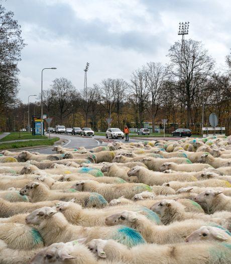 Schapen op straat in Wageningen: met ronde buiken van akkeronkruid op weg naar de heide