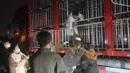 """Honderden gestolen honden gered van illegaal slachthuis in China: """"Het leek recht uit een nachtmerrie te komen"""""""